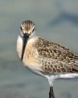 Curlew Sandpiper (Calidris ferruginea), Greece