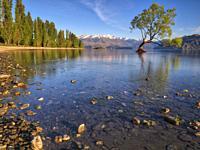 Lone willow tree growing in lake wanaka at sunrise. Lake Wanaka, South Island, New Zealand.