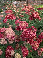 "Achillea millefolium """"Paprika"""" in flower."