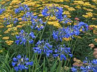 "Achillea """" Terra cotta"""" in flower with Agapanthus Colbolt blue."