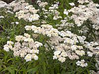 Anaphalis commonly known by the name pearl or pearly everlasting.