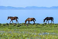Horses walking along the lakeshore, Song Kol Lake, Naryn province, Kyrgyzstan, Central Asia.