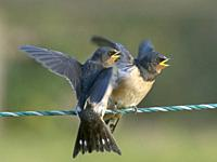 Young Swallows Hirundo rustica on fence waiting to be fed.
