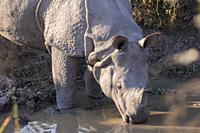 India, State of Assam, Kaziranga National Park, Asian One-horned rhino or Indian Rhinoceros or Greater One-horned Rhinoceros (Rhinoceros unicornis), P...