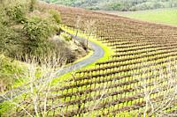 USA, California, Sonoma Valley. Very tidy and organized vineyard. Vines are bare in the winter months.