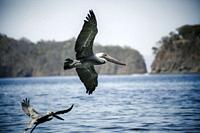 Pelican in flight at the water edge. Photographed in Guanacaste National Park Costa Rica in December