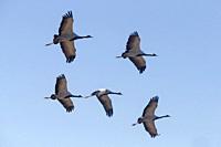 Asia, India, Rajasthan, Thar desert, Kichan, village of the Marwari Jain communuty, have been feeding every winter since 1970 the Demoiselle cranes (G...