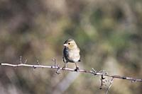 Common Chaffinch (Fringilla coelebs). Photographed in the Tietar Valley, Toledo.