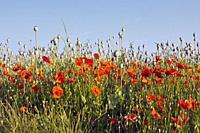 Poppy (papaver somniferum)field in La Rioja. Spain.