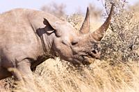Africa, Southern Africa, South African Republic, Kalahari Desert, Black rhinoceros or hook-lipped rhinoceros (Diceros bicornis), adult female, 3O year...
