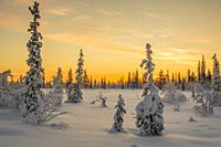 Winter landscape in direct light at sunset with orange colored sky and snowy spruce trees, Gällivare, Swedish Lapland, Sweden.