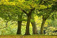 oak trees in Richmond Park, England.