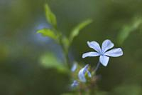 Artsy image of a blooming blue flower.
