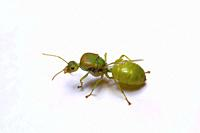 Queen of weaver ants, Oellcophylla smaragdina. Pondicherry, Tamilnadu, India Description:- Found in tropical forest in peninsular India, south east As...