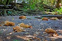 Flock of dead chickens lying scattered inside backyard chicken coop, killed by red fox (Vulpes vulpes)