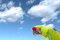 A macaw parrot against a bright blue sky with puffy clouds
