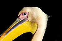 Close-up detailed portrait view of a pelican bird