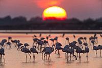 European Flamingo, Great Flamingo, Phoenicopterus roseus, at Sunrise, Saintes-Maries-de-la-Mer, Parc naturel régional de Camargue, Languedoc Roussillo...