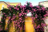 Podranea, Pink Trumpet Vine, Pink trumpetflower, Bignone Rose (Podranea ricasoliana), blooming, Lagos, Algarve, Portugal, Europe