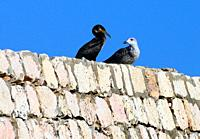 Great Black Cormorant (Phalacrocorax carbo) and yellow-legged seagull (Larus michahellis) sitting together of the wall of Fort Bandeira, Lagos city, F...