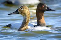 Canvasback ducks, Aythya valisineria, on the Chesapeake Bay, Cambridge, Maryland.