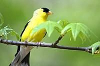 Ameican goldfinch, Spinus tristis.