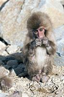 Japanese macaque or snow japanese monkey, baby eating (Macaca fuscata),Japan.