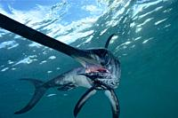 Swordfish (Xiphias gladius). Offshore. Pelagic. Eastern Atlantic. Galicia. Spain. Europe.