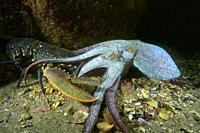 Octopus (Octopus vulgaris) attacking Common lobster (Homarus gammarus). Eastern Atlantic. Galicia. Spain. Europe.