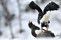 Steller's sea eagle (Haliaeetus pelagicus) couple, Japan.