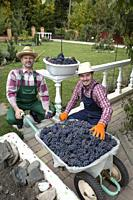 Two young men gather grapes in the garden. Russia.