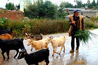 Goat herder with goats in Dongchuan, Red Land, Yunnan Province, Peoples Republic of China