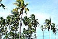 Palm trees in Koh Tonsay or Rabbit island, Kep, Cambodia.