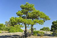 Pinus nigra, Austrian Pine, Las Majadas, Cuenca province, Spain