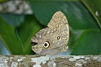 Giant Owl Butterfly (Caligo eurilochus). Chanchamayo - Perú