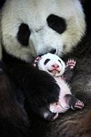 Giant panda (Ailuropoda melanoleuca) female, Huan Huan, holding baby age one month, Beauval Zoo, France.