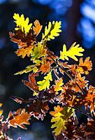 """Oak leaves in autumn, Parque Natural """"""""Laguna Negra y Circos Glaciares de Urbión"""""""", Soria province, Castilla y Leon, Spain, Europe."""