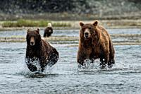 A brown bear adult chases a sub-adult bear away from his salmon fishing grounds in the lower lagoon at the McNeil River State Game Sanctuary on the Ke...