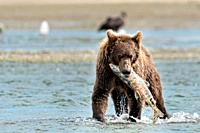A brown bear sub-adult catches a salmon in the lower lagoon at the McNeil River State Game Sanctuary on the Kenai Peninsula, Alaska. The remote site i...