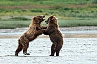 Brown bear sub-adults play fight along the lower lagoon at the McNeil River State Game Sanctuary on the Kenai Peninsula, Alaska. The remote site is ac...
