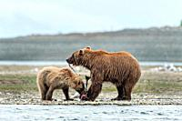 A Brown bear mother shares her salmon with her yearling cub along the lower lagoon at the McNeil River State Game Sanctuary on the Kenai Peninsula, Al...