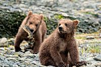 Brown bear spring cubs play along the lower lagoon at the McNeil River State Game Sanctuary on the Kenai Peninsula, Alaska. The remote site is accesse...