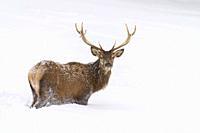Red deer in winter, Cervus elaphus, Bavaria, Germany, Europe.