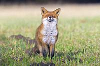 Red fox (Vulpes vulpes) on meadow, Hesse, Germany, Europe.