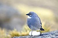 White-winged Diuca Finch (Diuca speculifera) taken in freedom. Huancayo, Perú