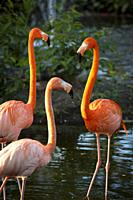 American Flamingos (Phoenicopterus Ruper) in pond at Everglades Wonder Garden, Bonita Springs, Florida, USA.