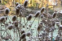 Early morning frost and Spring sunshine on dried teasels and foliage in a communal garden, Bristol, England.