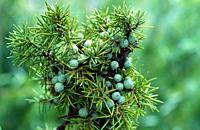 Common juniper (Juniperus communis communis) evergreen shrub native to Eurasia and North America. Cones and aciculate leaves detail.
