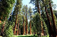 Giant sequoia or giant redwood (Sequoiadendron giganteum) is a big tree native to Sierra Nevada, California, USA. This photo was taken in Sequoia Nati...
