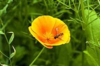 Bee on a Californian poppy.